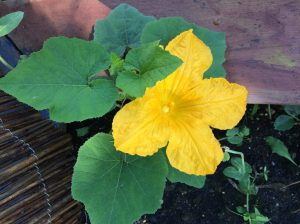 Pumpkin bloom